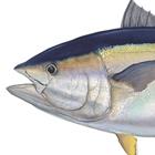 Bigeye Tuna