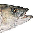 Mature Striped Bass